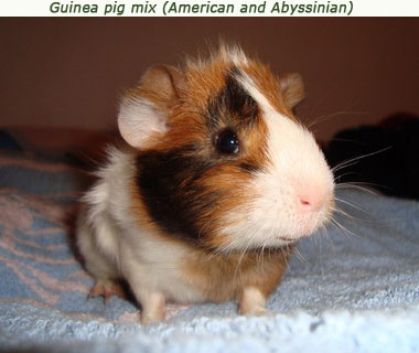 curly long haired guinea pig. Coronet is a long haired guinea pig that has a single rosette on the head.