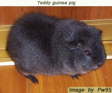 guinea pig breeds teddy