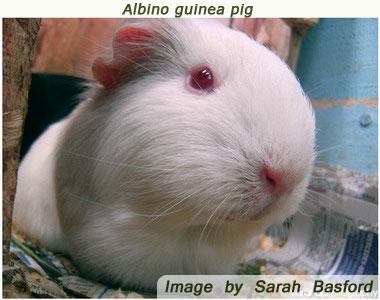 guinea pig breeds albino