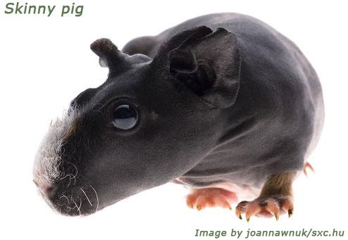 guinea pig breeds skinny