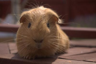 cute guinea pig photo
