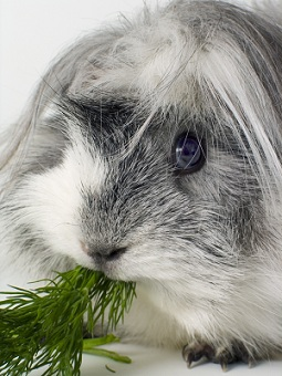 chewing guinea pig pictures