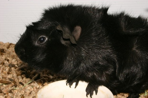 guinea pig pictures