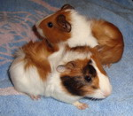guinea pigs for adoption