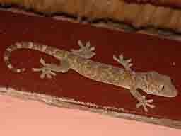 Indonesian Gecko