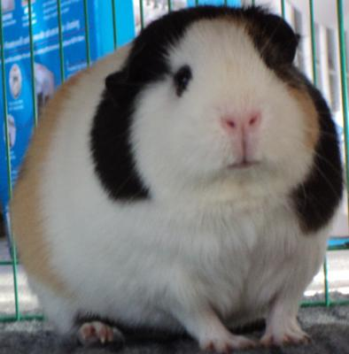 Lucy the Guinea Pig