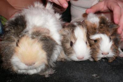 Guinea pig litter