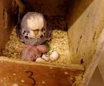 Breeding parakeet nest box