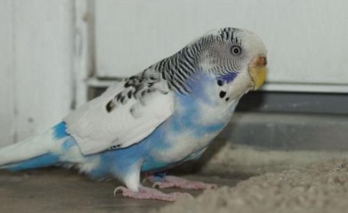 training parakeets