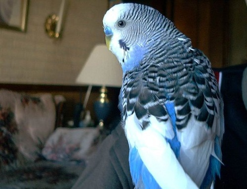 blue and white parakeet