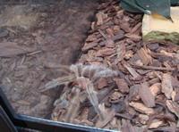 Pet tarantula