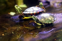 pet turtles in water