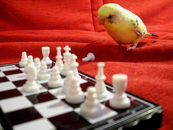 Budgie parakeet playing chess
