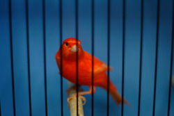 Red Canary In Cage