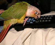 little parrot playing with remote