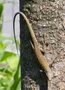 Lacertid Lizard