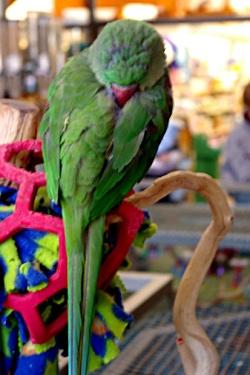 green parrot sleeping