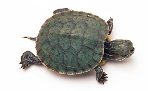 Small pet turtle - Welcome the new pet