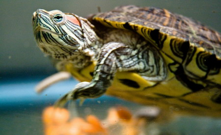 small pet turtle in water