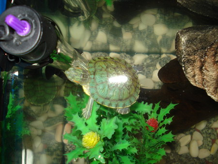 small pet turtle in tank