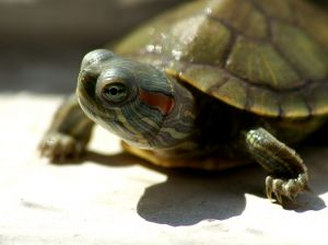 Small pet turtle