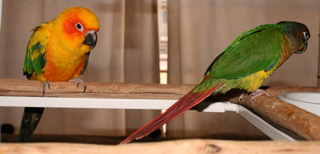 sun conure playing on perch