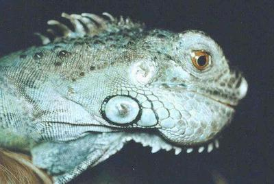 Lizard Metabolic Bone Disease Can Cause a Smile Like Appearance