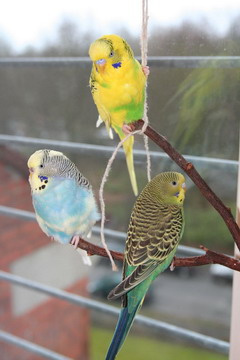three budgie parakeets