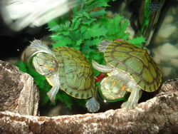 Turtles As Pets Information and Facts