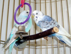 Two Parakeets In Same Cage. Budgie Parakeets Together