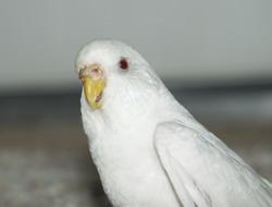 albino budgie bird
