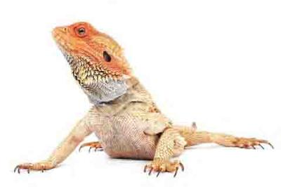The Best Age for Someone Caring for a Bearded Dragon is ages 10 Years or Older