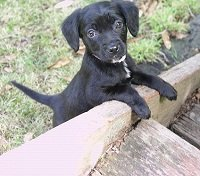 cute black puppy for adoption