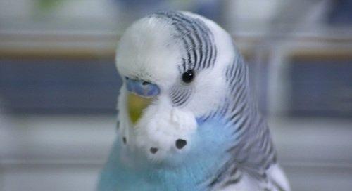 blue budgie parakeet