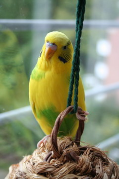 budgerigar hanging around