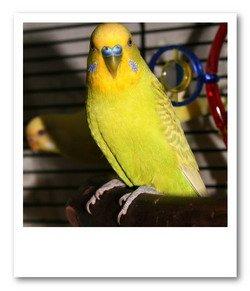 budgie bird boy