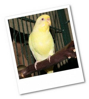 budgie bird on perch