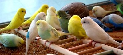 cute budgie parakeets
