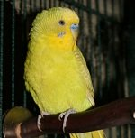 facts about parakeets