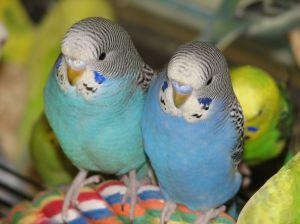 Two pet parakeets