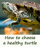 buy a pet turtle
