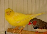 canary types and finches as pets