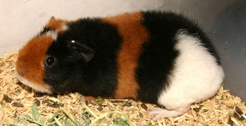 cute guinea pig for adoption
