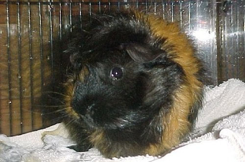 dark guinea pig