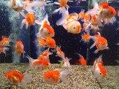Small tropical pet fish