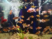 Pet fishes in fish tanke