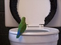 funny parakeet in toilet