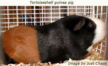 guinea pig breeds tortoiseshell