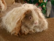 long haired guinea pig