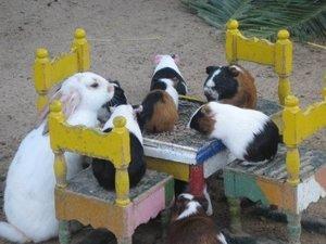 Guinea pig pet party